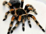 пауки птицееды и скорпионы.