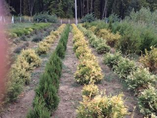 Plante decorative crescute în Moldova, Molizi pentru crăciun pînă la 2,5m.