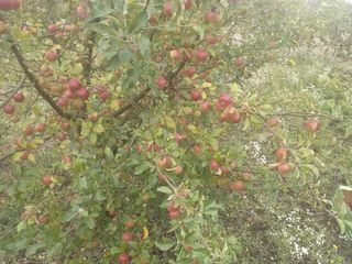 Продам сад! 4.3 га консолидированный участок!1.5 га (яблоко),(0.3 га слива) и 2.5 га грецкий орех!