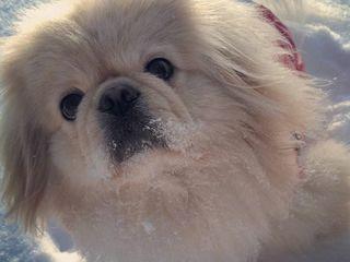 вязка собак   monta