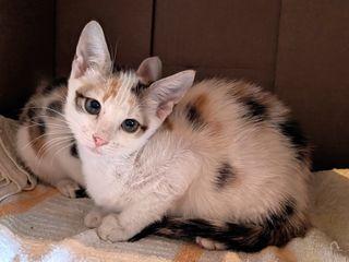 Дарим кошечку - принцесса Турандот!