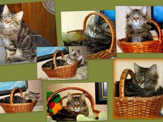 Добрейший и красивейший котенок сибиряк!!!!