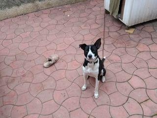 Пропала собака в Дурлештах