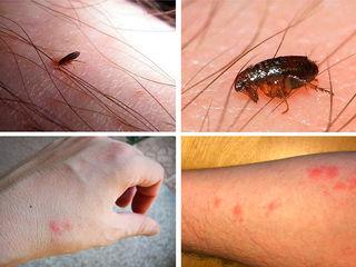 Paraziți găsiți în insecte. Paraziți insecte pe o fotografie de persoană