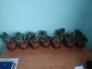 Cactusi / кактусы  cactus