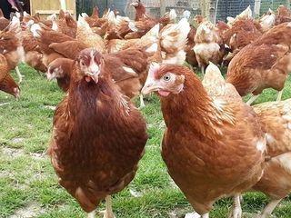 găini ouătoare livrarea