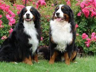 Дрессирую непослушных , упрямых и балованных собак , обучу командам и послушанию !