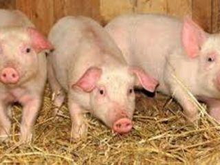 Vând porci de casă, jumătăți , crescuți cu cereale , carnea foarte gustoasă .