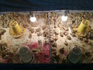 Carne si oua de prepelita pentru incubare si alimentare