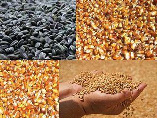 Cumpăr porumb, floarea soarelui și griu în Sudul si Centrul Republici