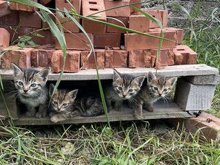 Котята 1 лей!  ! Доставка по Кишиневу бесплатно!