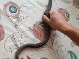 Продам змею (Ромбическая неродия )