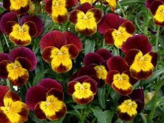 se vind flori viola, продаем цветы анютина-глазки