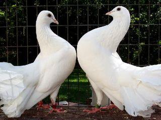 Porumbei pentru nunti,cumatrii,etc.