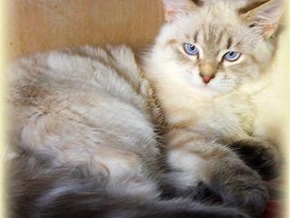 Шикарный пушистый котенок подросток. Невская маскарадная.