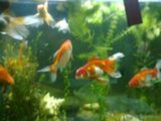 Золотые рыбки нана кара гуппи растения корма для рыбок