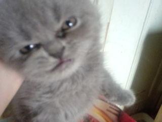 Плюшевые шотландские котята пирямоушки 1,5-2 мес белый и дымчатый, 1800-2000л