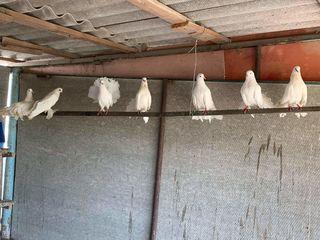 Vind porumbei curcanosi