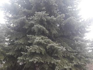продаю голубую ель(brad argintiu)-10 metri