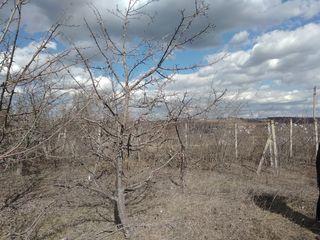 Продам 24 Га (гектара) земли сельхоз назначения, сливовый сад, яблоневый сад, виноградники и пашня.