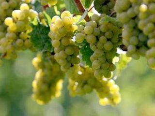 3га виноградника - Совиньон, Алиготе, Шардоне
