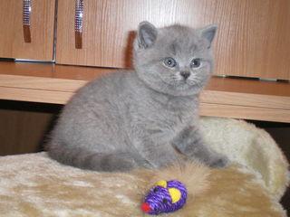 Британские плюшевые короткошерстные котята !