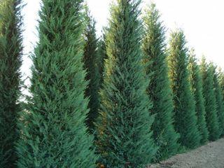 Gard verde  diverse soiuri de cupreso ciparis leilanda