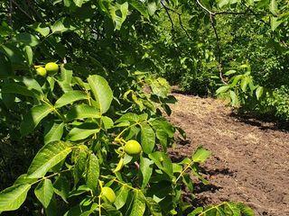 Se vinde 5 hectare livada de nuci.