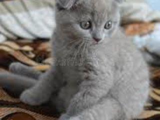 O sa cumpar o pisicuta scotiana fold 1,5 -2 luni
