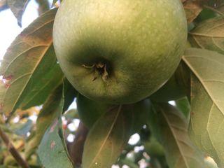 Продам сад 3,5 га яблоня(айдаред,голдан,симиренко)8-й год,0,5га слива      11800евро