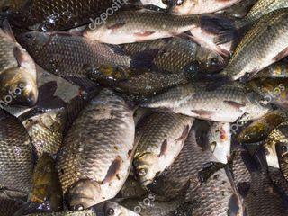 Cumpar, pecuiesc pește