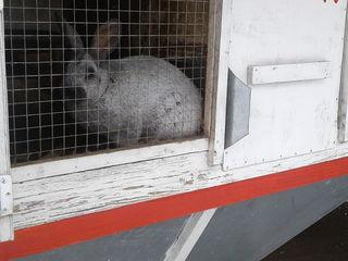 кролики  iepuri