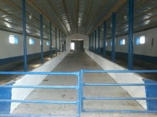 Vind ferma noua pentru 50 de vaci mulgatoare