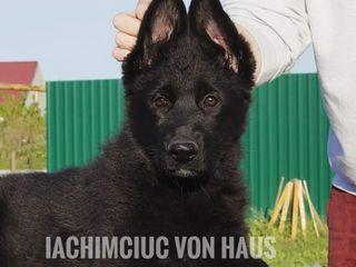 "Питомник ,,Iachimciuc Von Haus"" Fci"