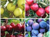 Pomi fructiferi!