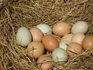Vind ouă de brama