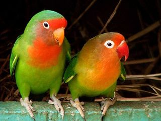 Продаю попугаев для разговора.разных особей.Разных возрастов.В наличии есть клетки корма.