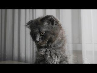 Pisici British