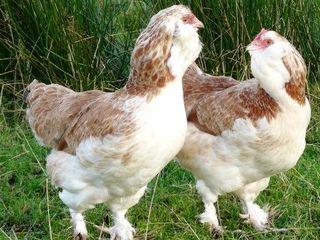 Есть в продаже яица и цыплята разных пород