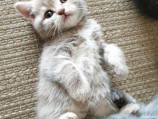 Pisică scottish, un minunat nou membru al familiei