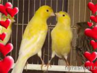 Лучший подарок к новогодним  праздникам  :поющие канарейки,амадины и др. птицы !