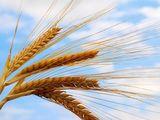 фирма закупает пшеницу кукурузу  по выгодным ценам