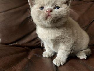 Бронь!!! Шотландские клубные котята лиловые и голубые