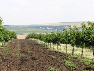 Livada Nuc 3.4Ha plantata in 2012