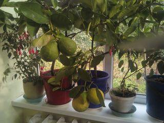 Распродажа лимоновых деревьев!