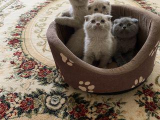 Продам!Готовы переехать в новую семью. Чистокровные котята шотландской вислоухой породы,
