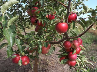 Se vinde livadă de mere în satul miciurin