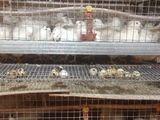 Vind oua de prepelita