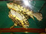продам черепах