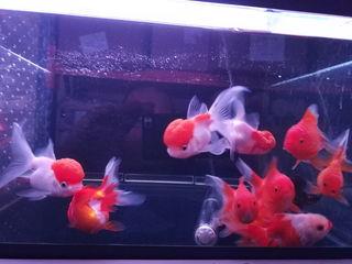 Золотая рыбка.Красная шапочка. Жемчужинка. Мунчешть 94.